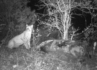 Confirman presencia de puma en Actopan