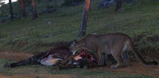 Reportan nuevo ataque de puma en Actopan