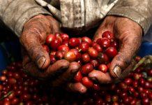 Legisladora local pide subsidiar a productores de café